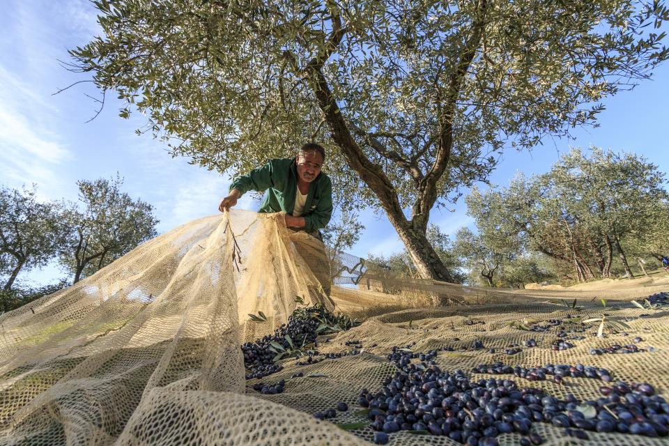 Olivenernte auf der Fattoria